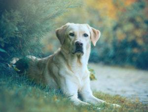 Labrador sitting in grass