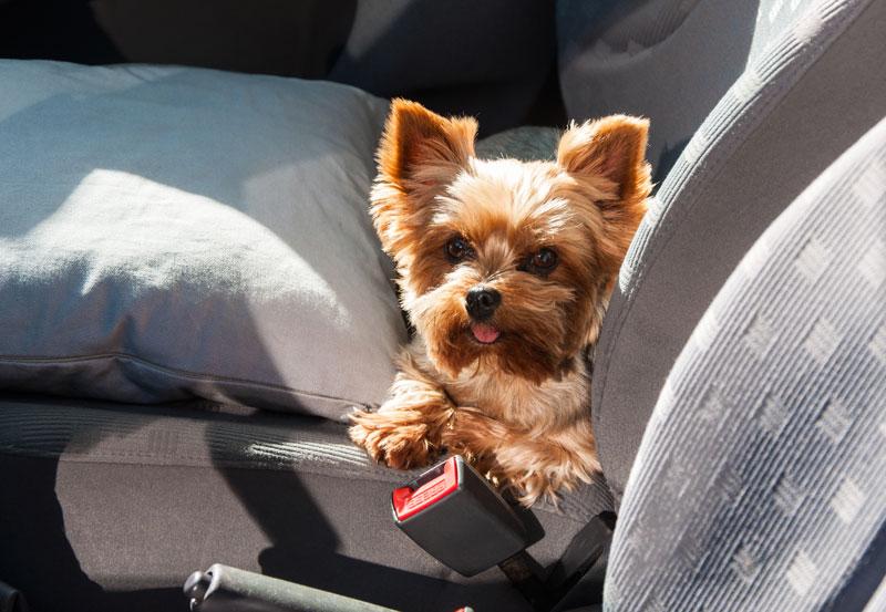 a-dog-in-a-car